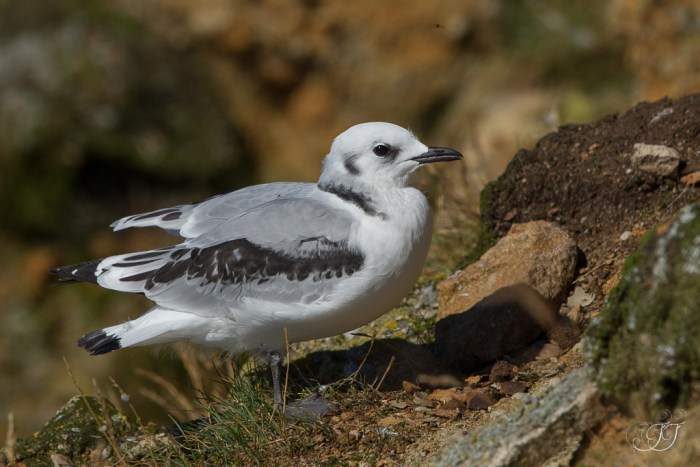 Mouette tridactyle-Ekkerøy 05.08.2016