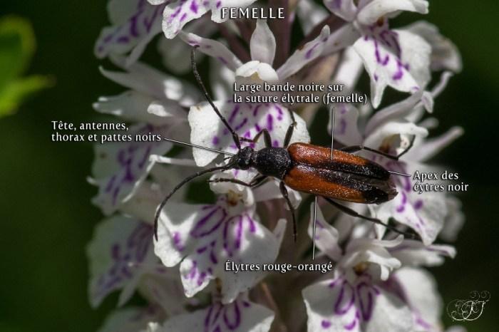 Lepture à suture noire (Stenurella melanura) - Stenurella sennii
