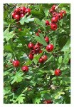 hawthorn-tree-with-ripe-red-berries