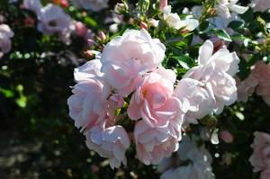 Wild_rose