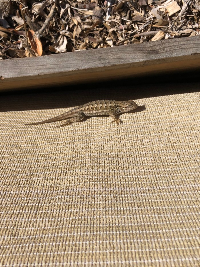 A pregnant fence lizard sitting on some UV cloth beside a community garden bed