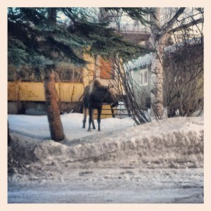 JessicaFWalker | Moose Across the Street in Snow | Anchorage