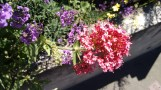 beautiful spring flowers in Welly