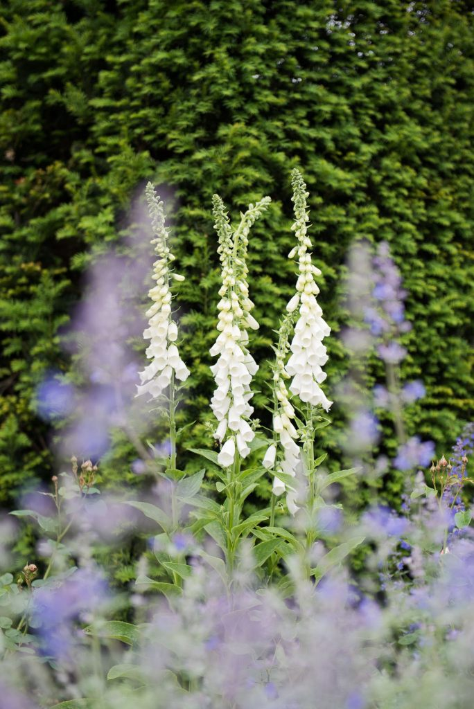 Great Fosters. Natural Documentary Wedding Photography, Surrey. Foxglove Flowers in The Gardens.