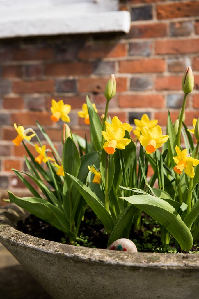 Spring bulbs outside Marlow registry office