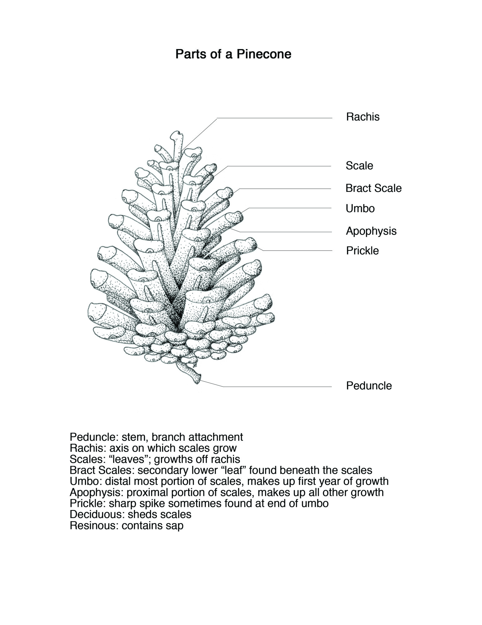 hight resolution of  incorporate all of the parts onto one individual pinecone the piece was drawn in stippled black ink with the leader lines and text added digitally