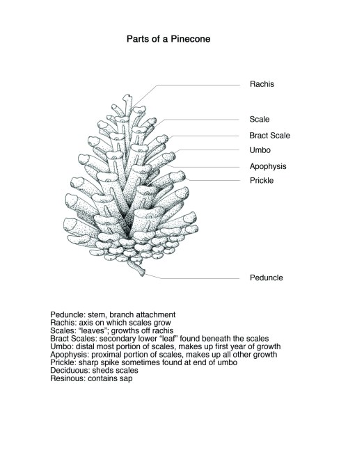 small resolution of  incorporate all of the parts onto one individual pinecone the piece was drawn in stippled black ink with the leader lines and text added digitally