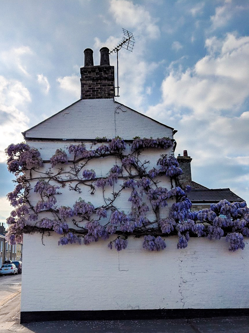 Grafton-Street-Cambridge-Wisteria