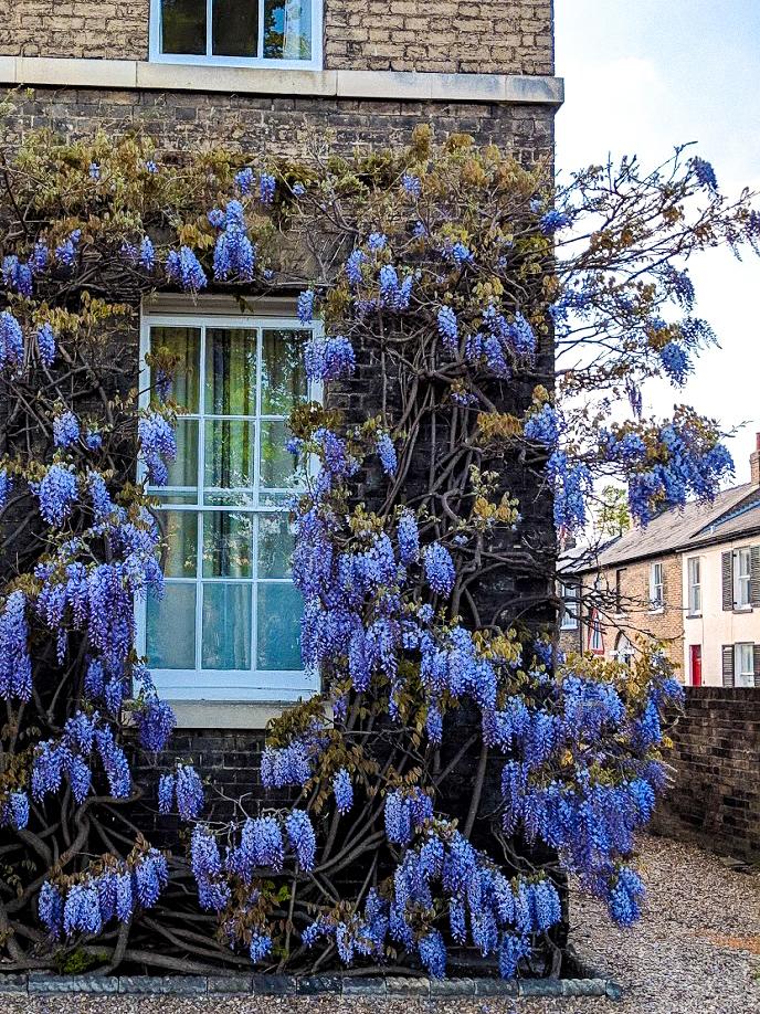 Park-Terrace-Cambridge-wisteria