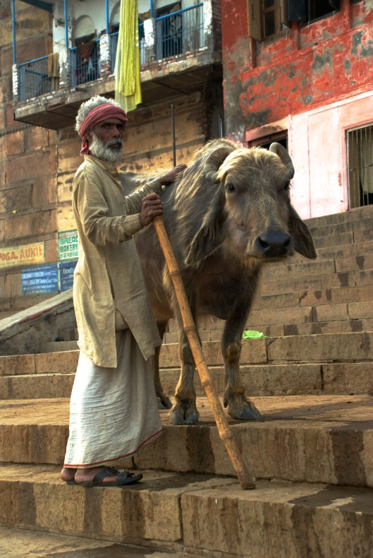 Varanassi, India Ghats Cow