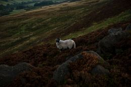 moor sheep 1