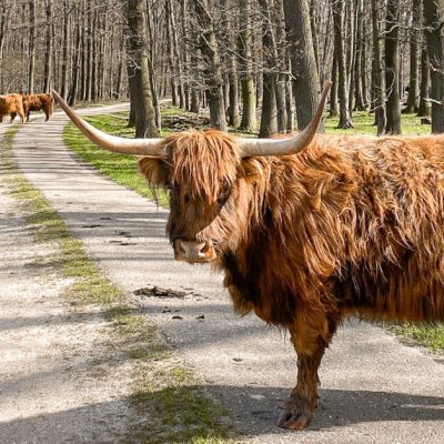 Where to See Scottish Highland Cows in Europe
