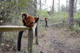 A few red-tufted lemurs pause curiously on a boardwalk built especially for their kind at the Lemur Conservation Foundation in Myakka City, Fla. The foundation is home to 51 lemurs and an inexhaustible wealth of knowledge about one of the most endangered mammals on the planet.