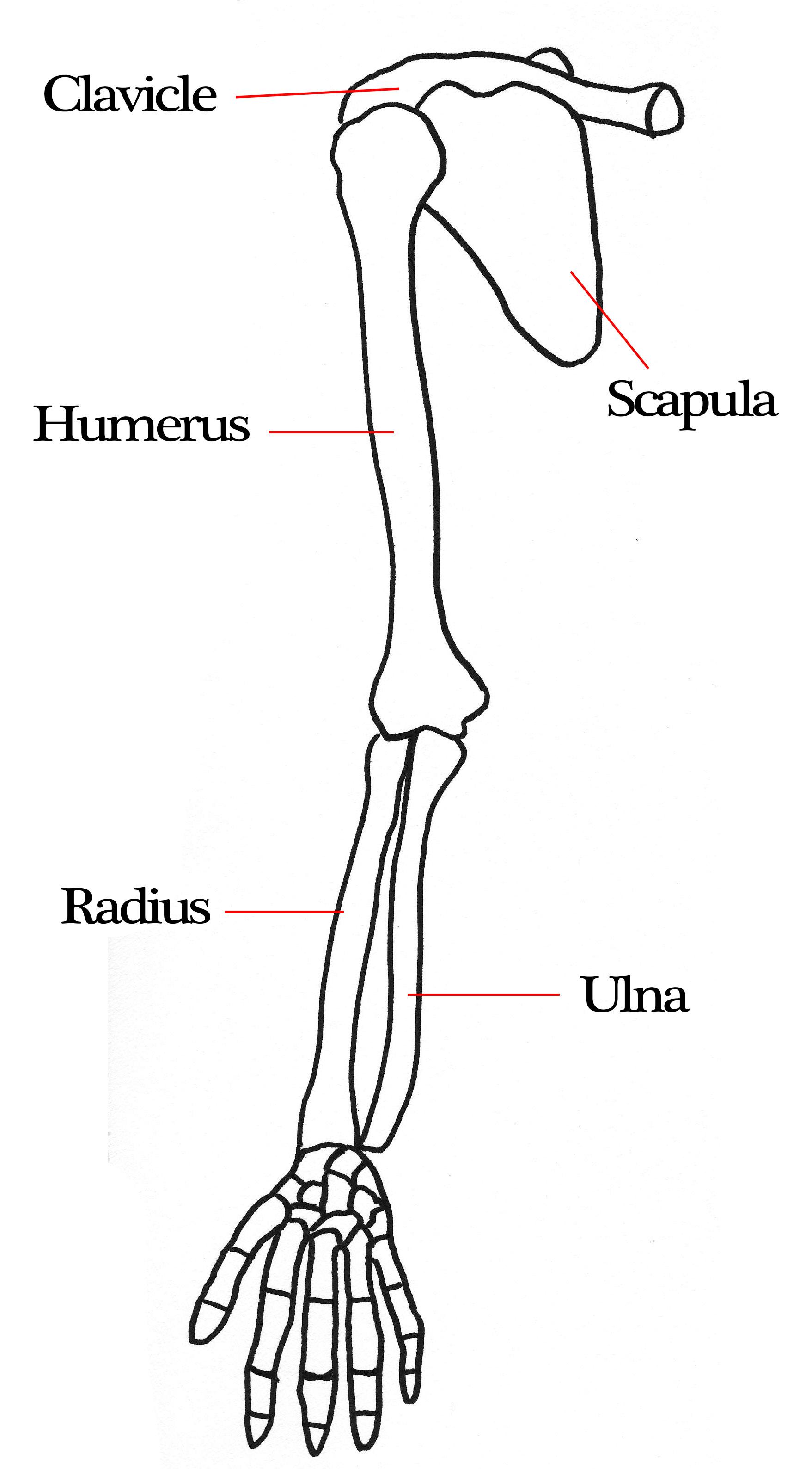 blank humerus diagram circle of induction motor arm bones