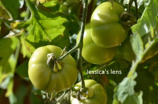 Norderås bush tomato