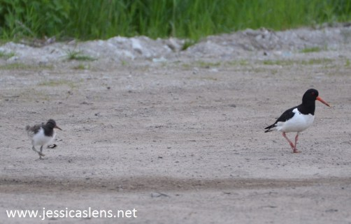 Eurasian oystercatcher and young