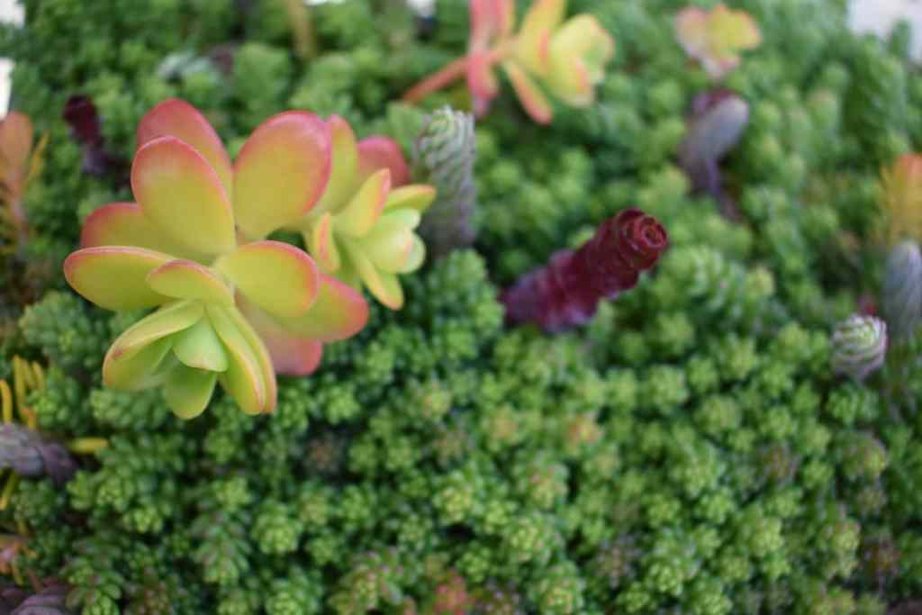 photo of sedum plants