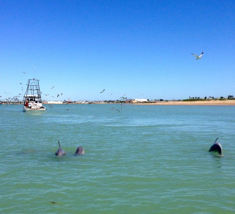 3 dolphins following a fishing boat, looking for the reject fish.