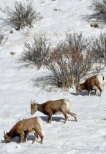 Colorado Rocky Mountain Big Horn Sheep 005