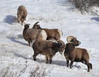 Colorado Rocky Mountain Big Horn Sheep 043