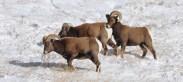 Rocky Mountain Big Horn Sheep 062