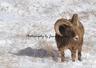 Colorado Rocky Mountain Big Horn Sheep 100