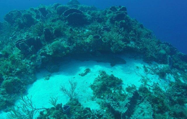 scuba diving nurse shark sleeping resting cozumel island mexico yucatan quintana roo playa del carmen shark sharks