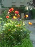 Garten Mohnblüte