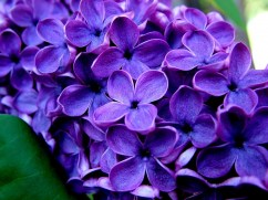 Purple flower pictures (16)