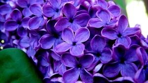 awesome-purple-flower-landscape-high-definition-wallpaper-image-of-purple-flower-full-free