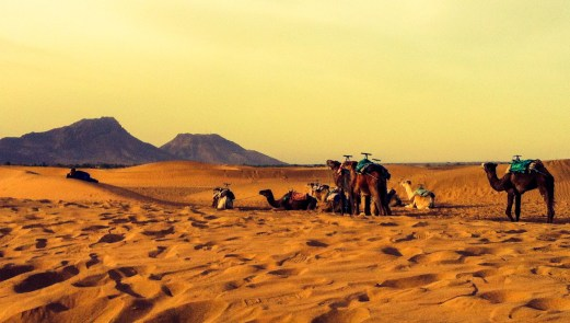 camels waking up