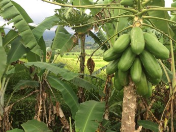 Jatiluwih rice terraces - papaya