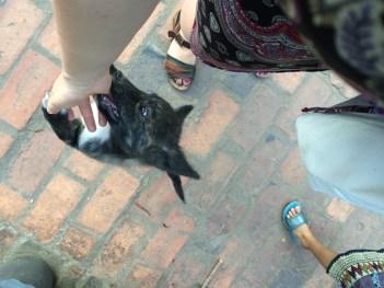 Luang Prabang dog