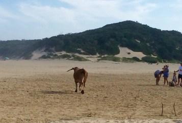 East Chintsa cow on beach