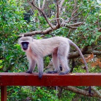East Chintsa monkey 2