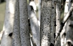 Birkengewirr