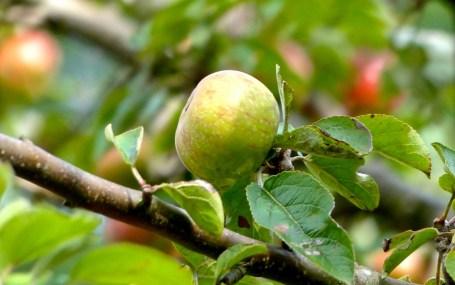 Wilder Apfel