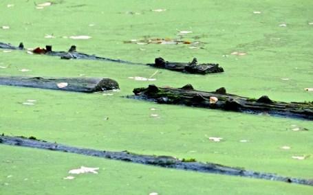 Schlafende Krokodile