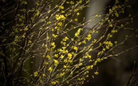 Goldener Regen