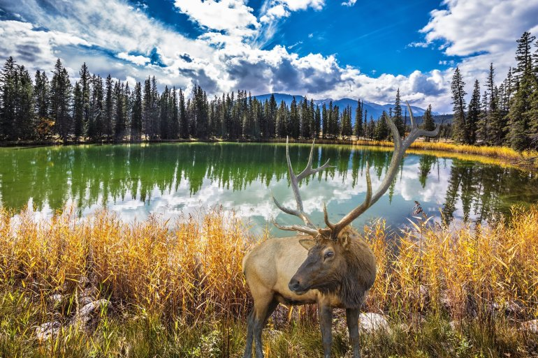 A deer in front of a clear lake in Jasper National Park. Wildlife spotting is a great thing to do in Jasper.