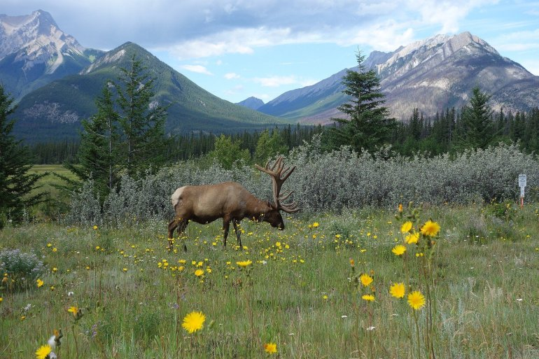 Photo of a lone moose grazing on a field in Banff National Park.