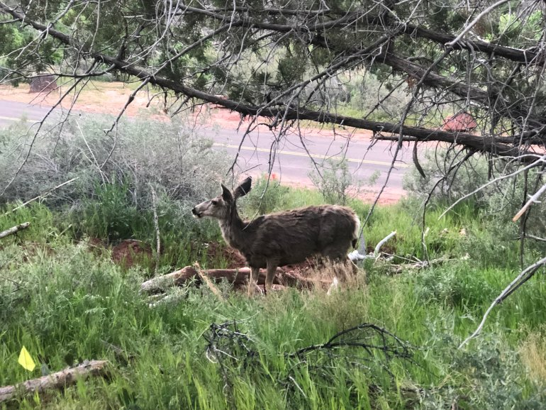 A deer found on a hike in Zion National Park.