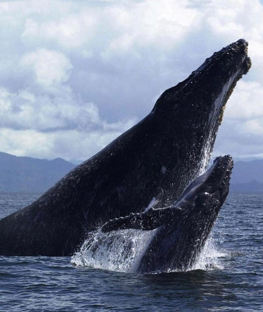 Humpback whale jumping out of the ocean. This is off the Pacific Coast Highway.