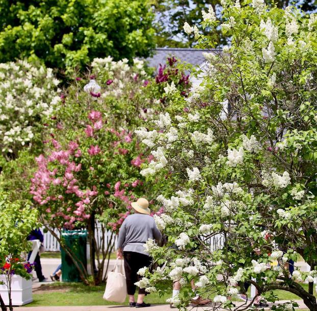 Lilacs Mackinac Island