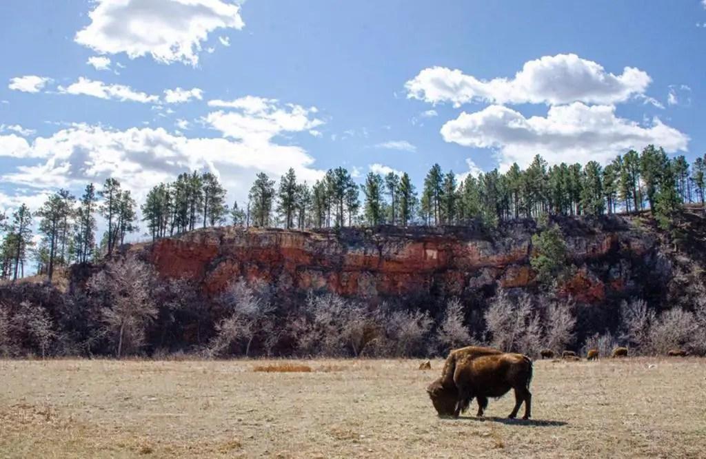 Bison on road trip through south dakota