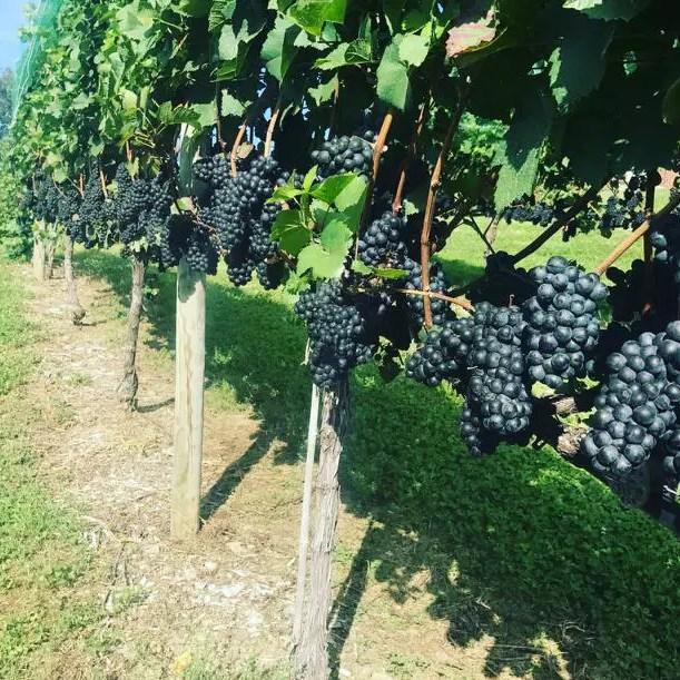 Nostrano Wine Yard - Hudson Valley New York