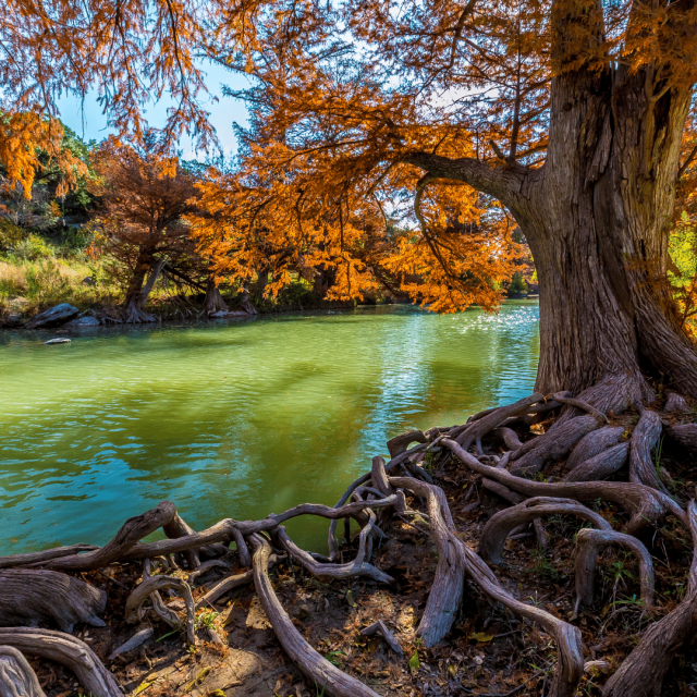 Up close of a tree's roots with a green river in the background and yellow trees lining the river.