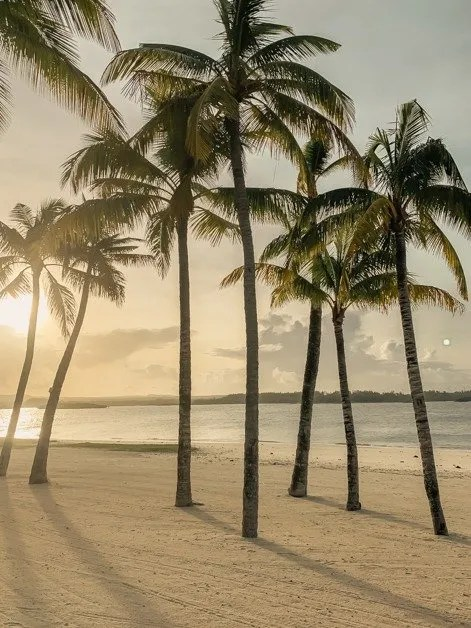 Picture of palm trees on a beach in Mauritius during golden hour.
