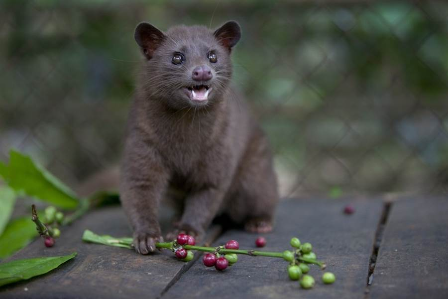 A Luwak snacks on coffee berries inside its cage in Bali, Indonesia.