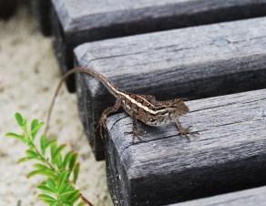 lizard on the deck maldives